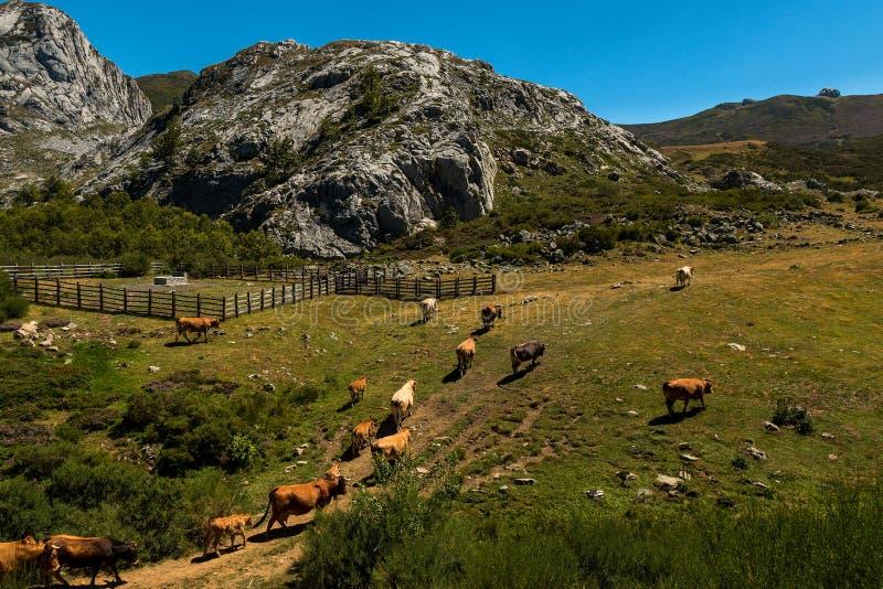Vaches entendues parler en parc national d'Europa de Picos DA photo libre de droits