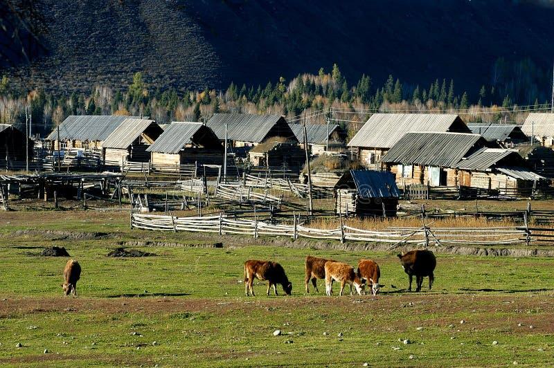 Vaches et maison de campagne photo stock