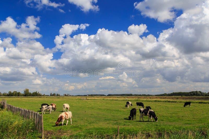 Vaches et nuages images stock
