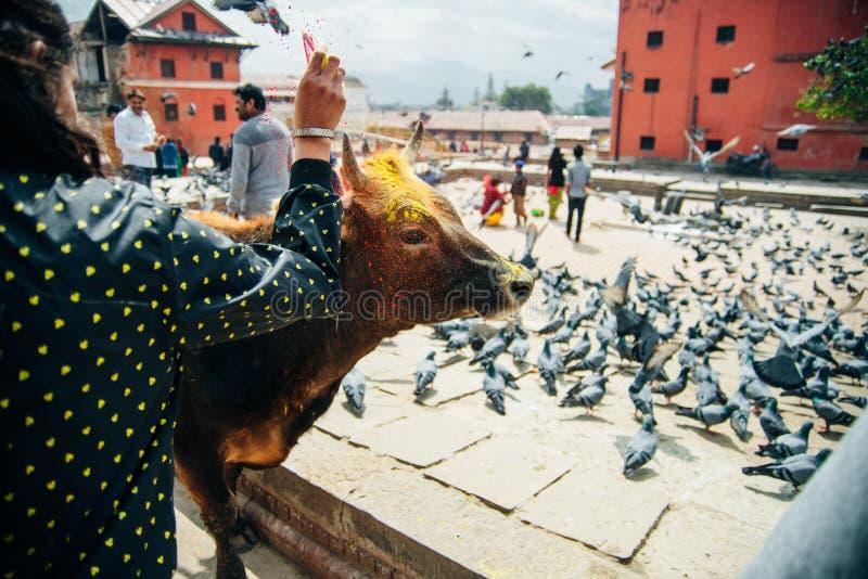 Vaches et pigeons saints à Katmandou, Népal image libre de droits