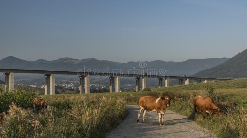 Vaches et pont en route près de ville de Ruzomberok photos libres de droits