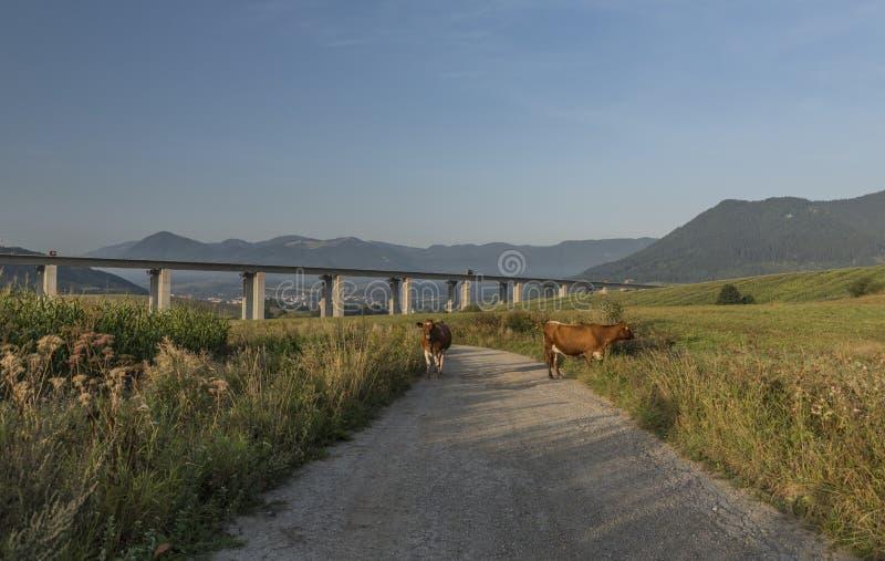 Vaches et pont en route près de ville de Ruzomberok photographie stock libre de droits