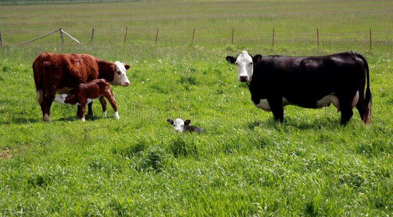 Vaches et veaux à Hereford images stock