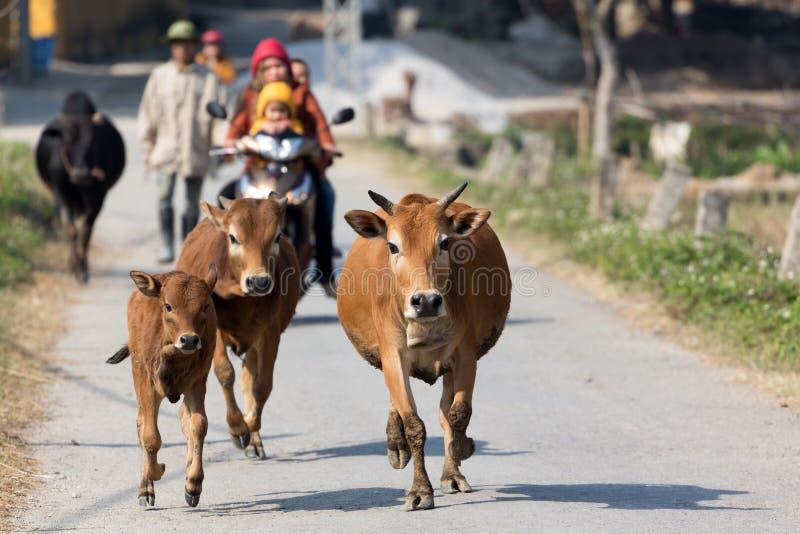 Vaches fonctionnant dans la campagne images stock