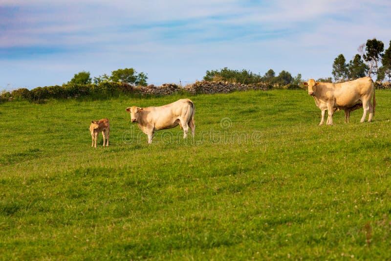 Vaches frôlant dans les prés de la Cantabrie Espagne image libre de droits
