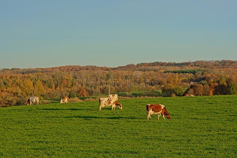 Vaches frôlant dans un pré avec des arbres avec la forêt d'automne à l'arrière-plan photographie stock libre de droits