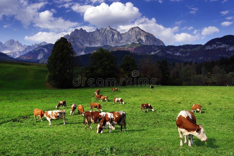Vaches frôlant devant Wilder Kaiser Mountainsin un jour ensoleillé d'automne images stock