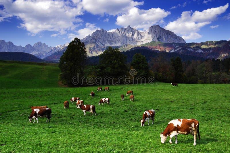Vaches frôlant devant Wilder Kaiser Mountainsin un jour ensoleillé d'automne photo stock