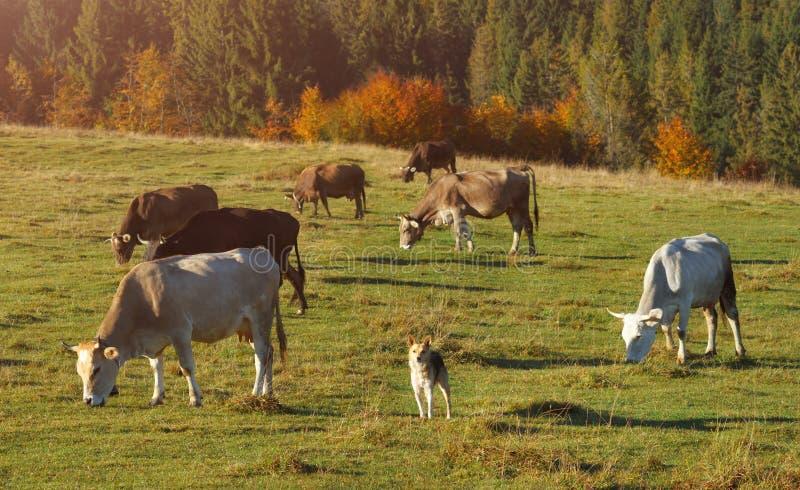 Vaches frôlant sur des collines de montagne Chien observant in camera et gardant le troupeau photos libres de droits