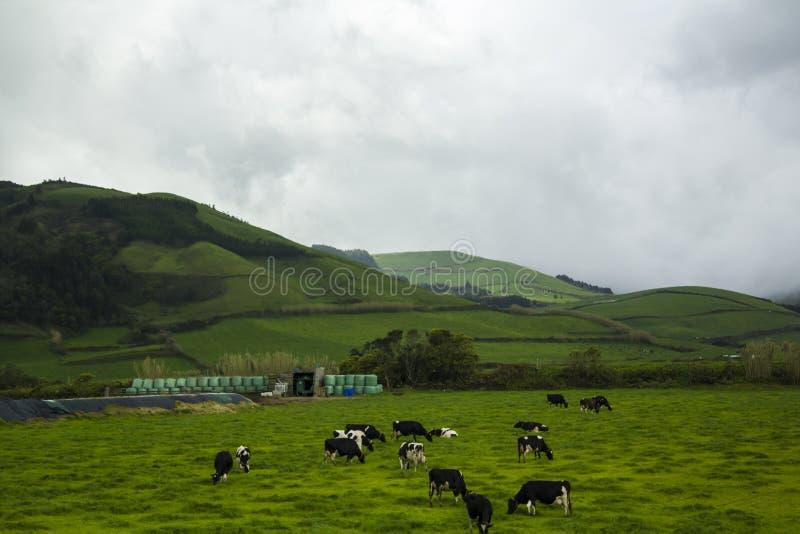 Vaches frôlant sur le champ vert vibrant photos stock
