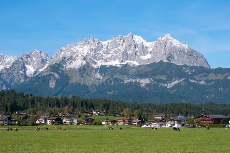 Vaches frôlant sur le pré alpin avec les montagnes d'Alpes à l'arrière-plan, Autriche Village autrichien typique photographie stock