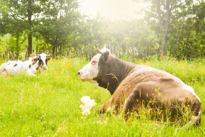 Vaches frôlant sur le pré vert avec le soleil brillant lumineux dans la soirée Photo courante dénommée avec le paysage rural en R image stock