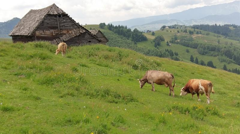 Vaches frôlant dans le domaine, Moieciu, son, Roumanie photo stock