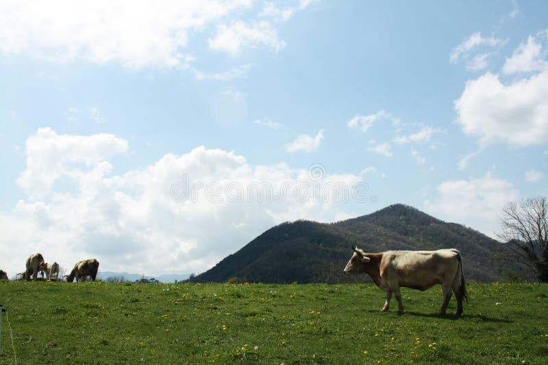 Vaches frôlant dans les prés images stock