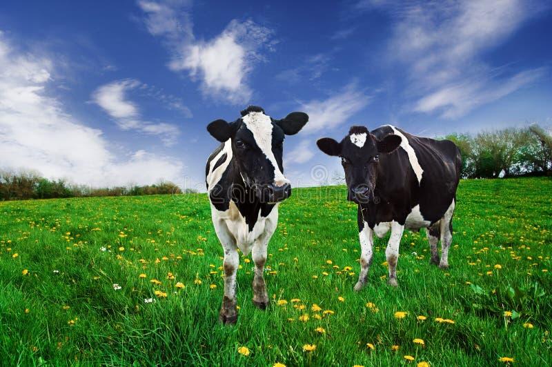 Vaches frisonnes. image stock