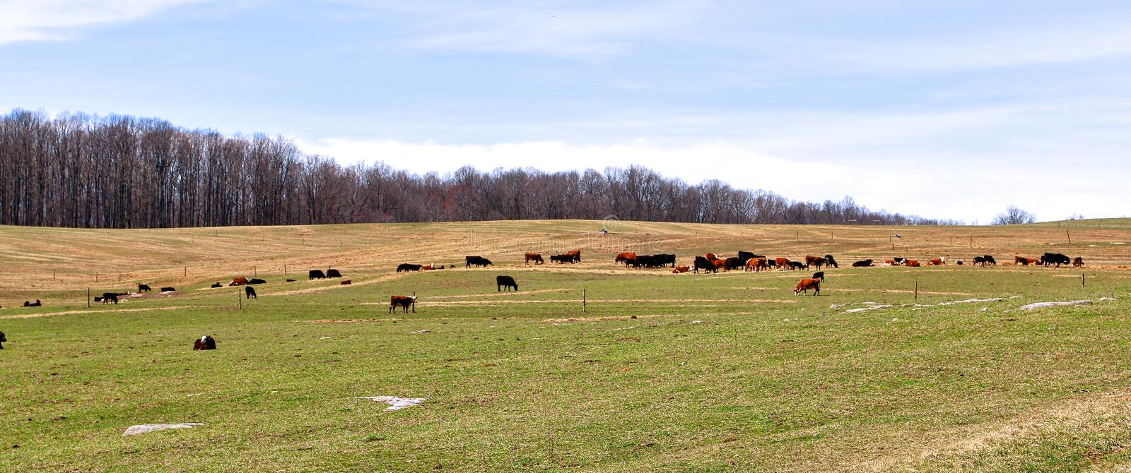 Vaches Graze Across The Landscaped Pasture images libres de droits