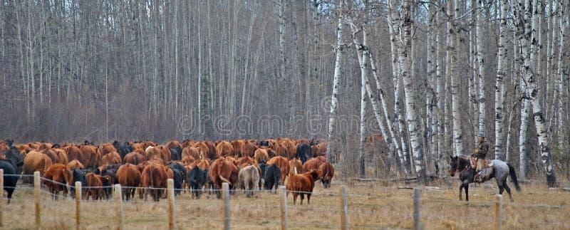 Vaches hearding à cow-girl en Alberta Canada images stock