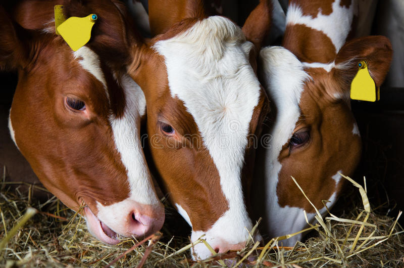 Vaches hollandaises image stock
