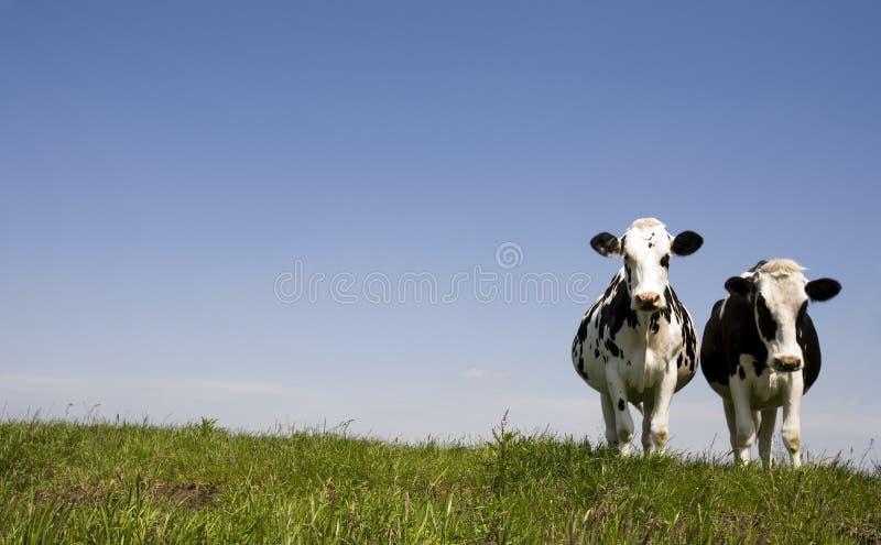 Vaches hollandaises photos libres de droits