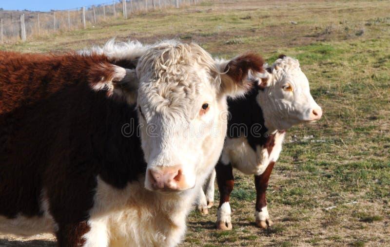 Vaches laitières image stock