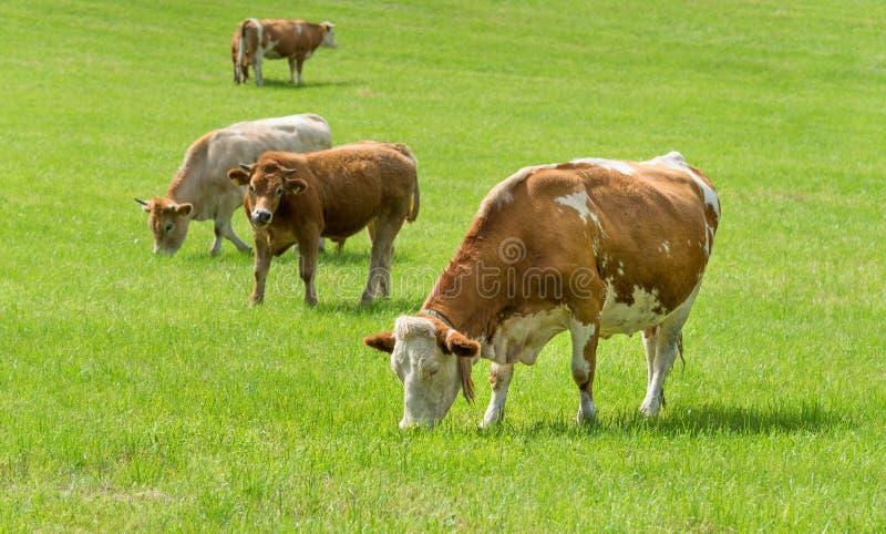 Vaches laitières dans le pâturage, Autriche photographie stock libre de droits