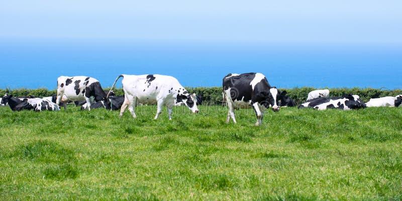 Vaches laitières dans les Cornouailles photo libre de droits