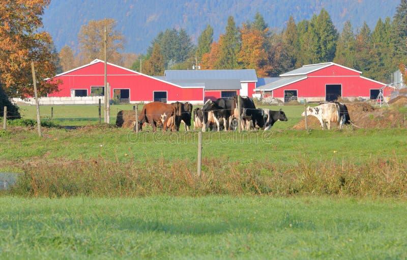 Vaches laitières de Hereford et ferme moderne photo stock