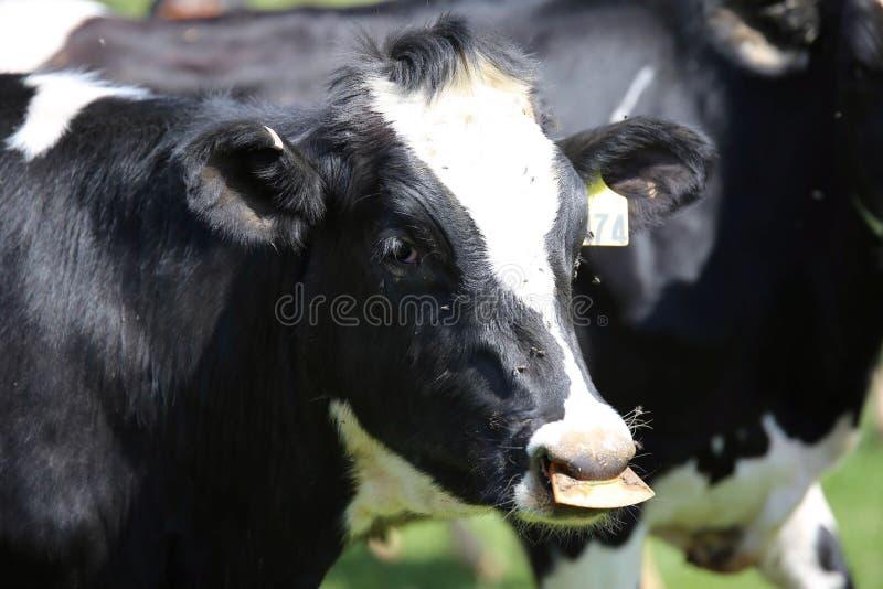 Vaches laitières de l'Ohio images stock