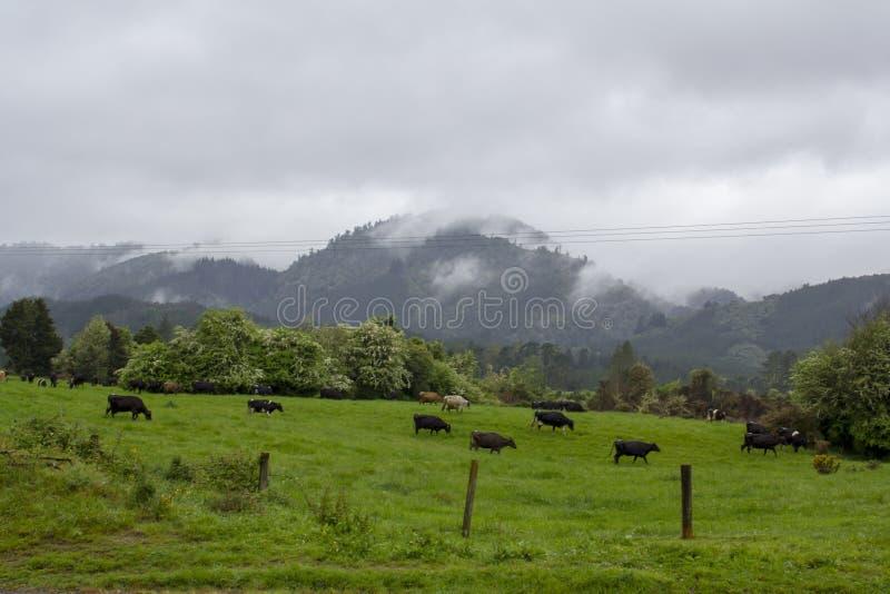 Vaches laitières frôlant dans le domaine vert avec la montagne le fond images libres de droits