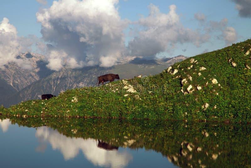 Vaches Le pâturage des prairies de montagne se reflète dans la surface du lac photographie stock libre de droits