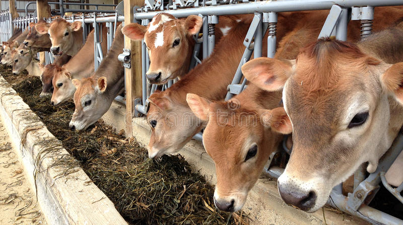Vaches mangeant à la cuvette photos stock