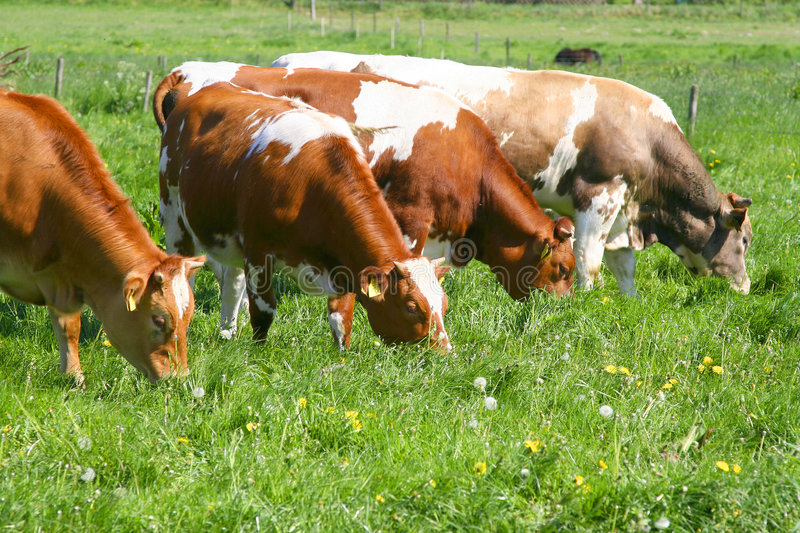 Vaches mangeant l'herbe images stock