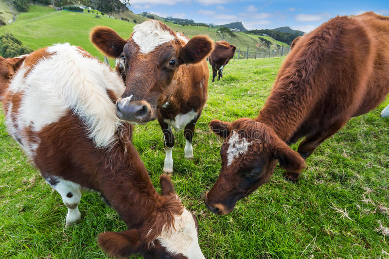 Vaches mangeant l'herbe photos stock