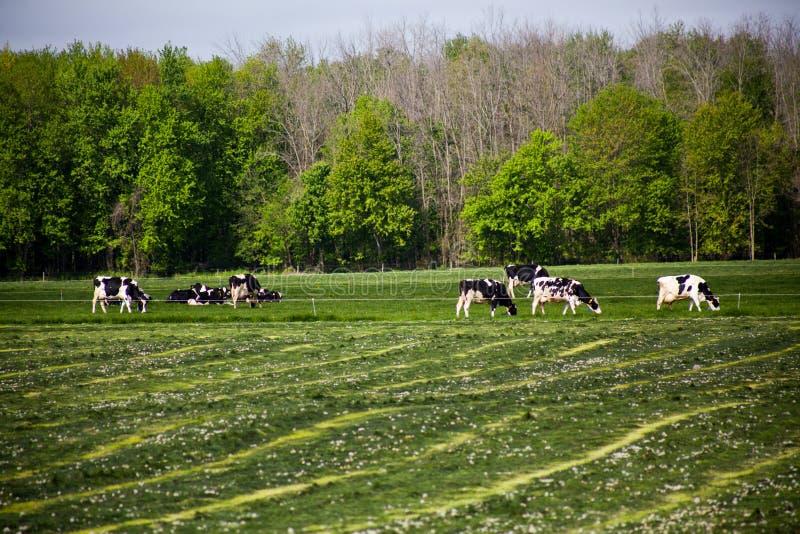 Vaches mangeant l'herbe dans un domaine image libre de droits