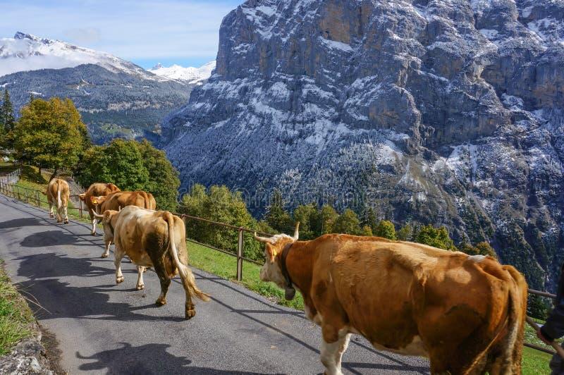 Vaches marchant sur le soleil de route de prés avec le paysage dans la neige photographie stock libre de droits
