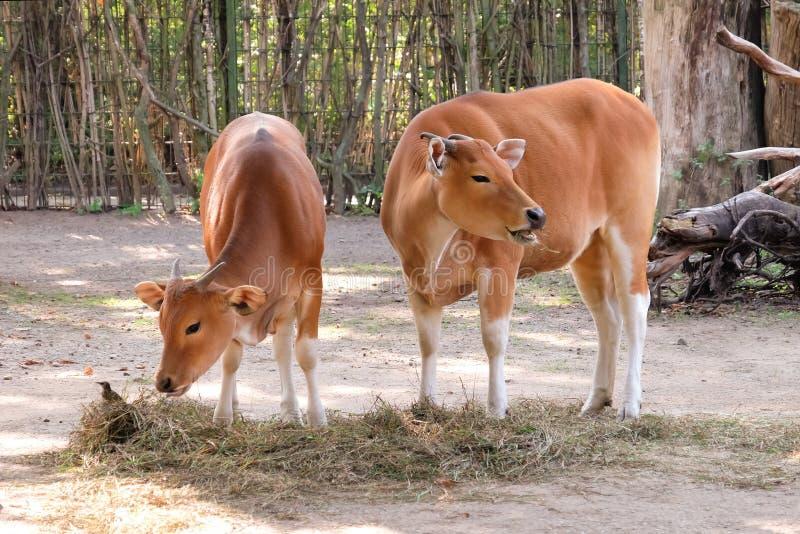 Vaches mignonnes dans le jardin zoologique images stock