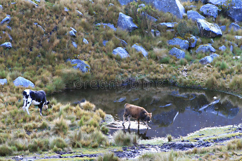 Vaches - parc national de Huascaran, Pérou photo stock