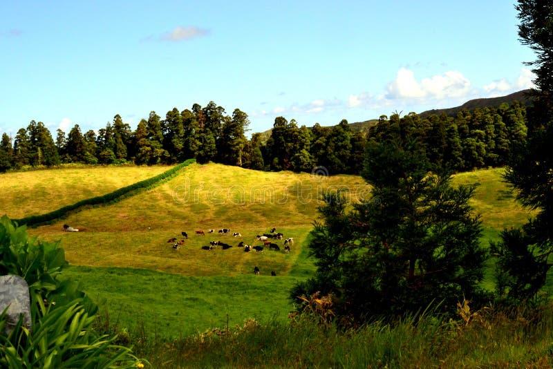 Vaches près de lac Furnas, île de Miguel de sao, Açores photo libre de droits