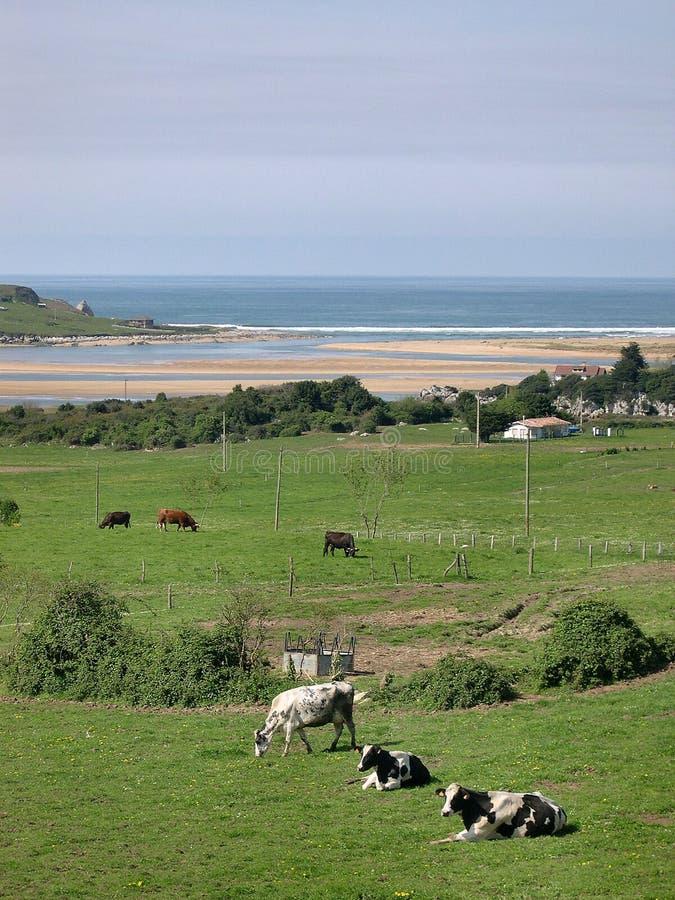 Vaches s'exposant au soleil image stock