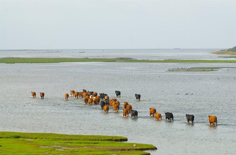 Vaches sur la course sur la côte ouest en Suède images libres de droits