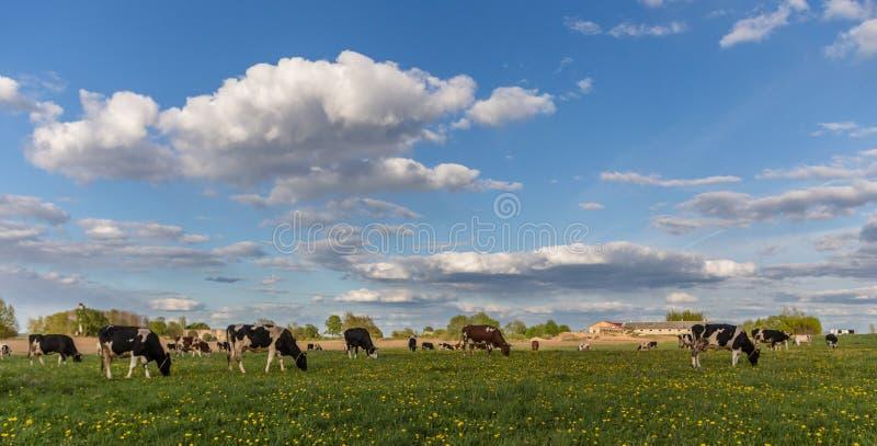Vaches sur le champ image stock