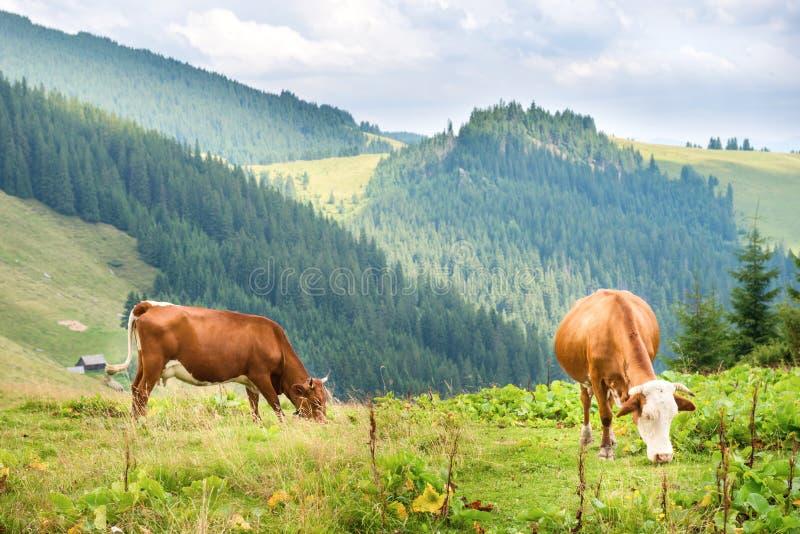 Vaches sur le champ vert aux montagnes photographie stock libre de droits