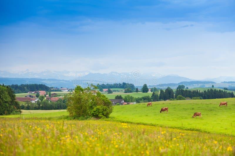 Vaches sur le champ vert d'été photos libres de droits