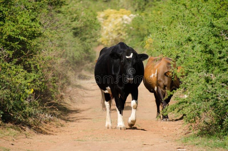 Vaches sur le chemin de terre photo libre de droits