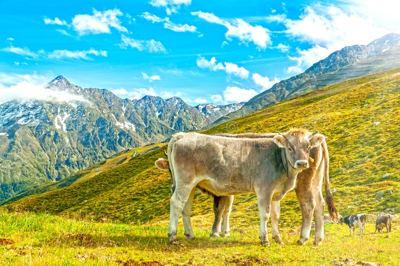 Vaches sur le pâturage alpestre image stock