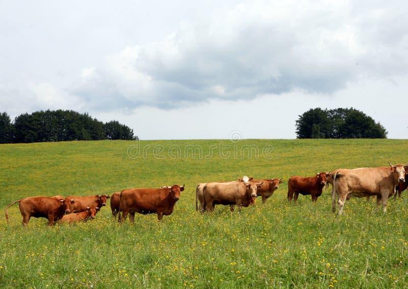 Vaches sur le pré images stock