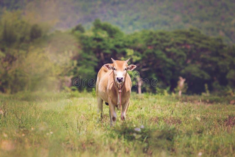 Vaches sur un pré photos libres de droits
