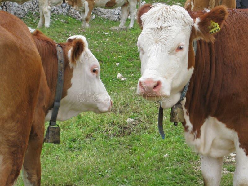 Vaches sur un pré dans les dolomites italiennes au Tyrol du sud un jour ensoleillé images stock