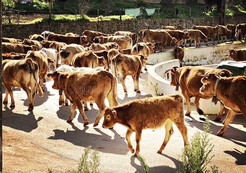 Vaches sur une route image libre de droits