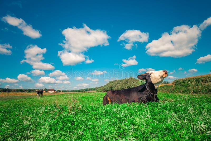 Vaches sur une zone verte photographie stock libre de droits